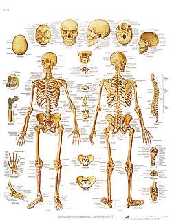 Plansch Skelettet laminerad