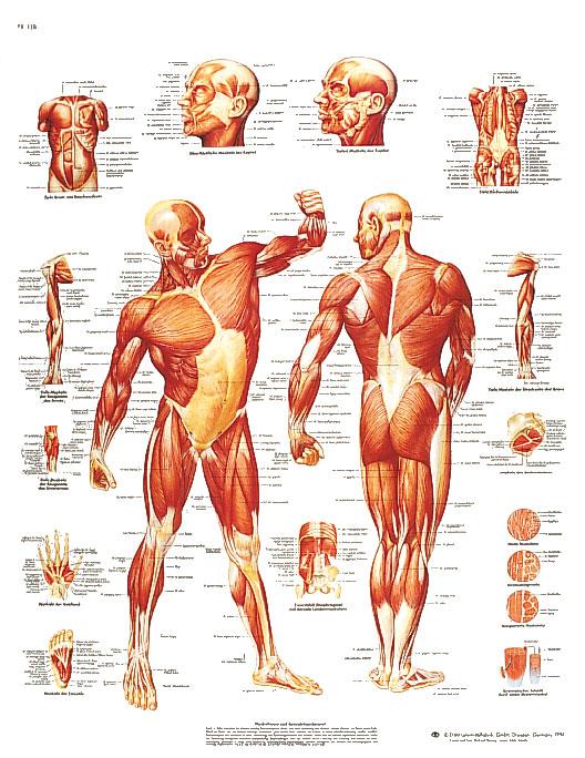 Plansch Musklerna laminerad