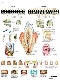 Plansch Tänderna laminerad