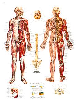 Plansch Nervsystemet laminerad