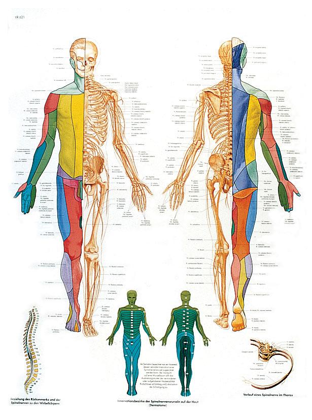 Plansch Perifiera Nervsystemet laminerad