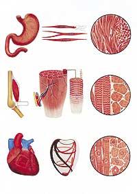 Plansch Muskelvävnaderna FYND