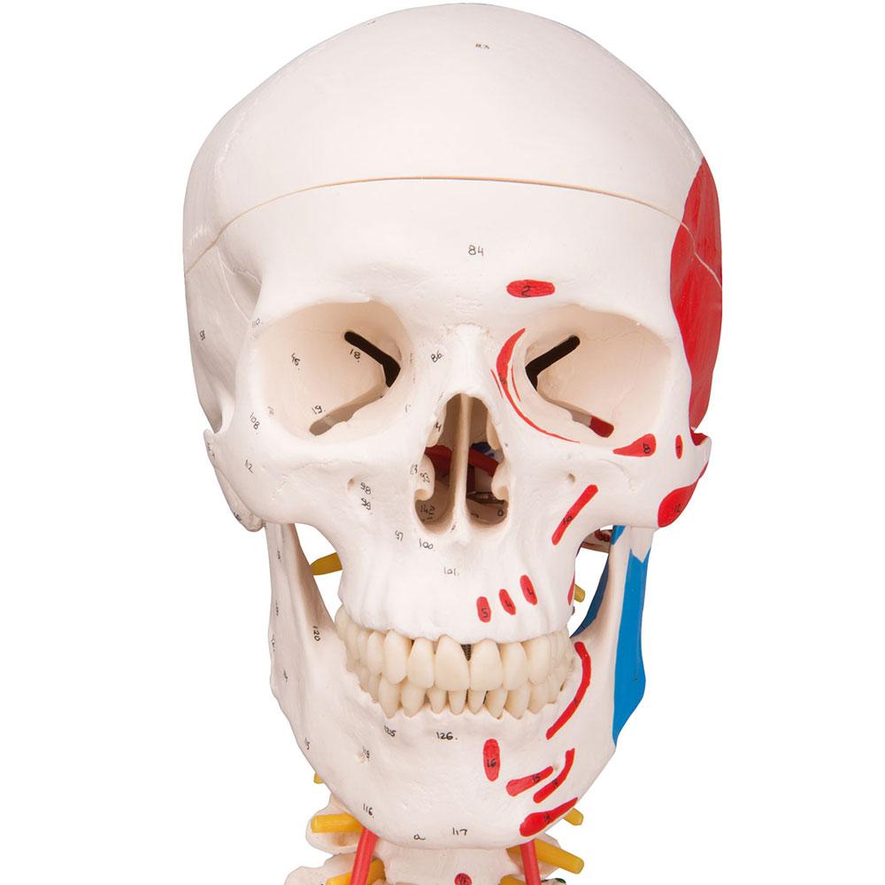 Skelett maxi avancerat