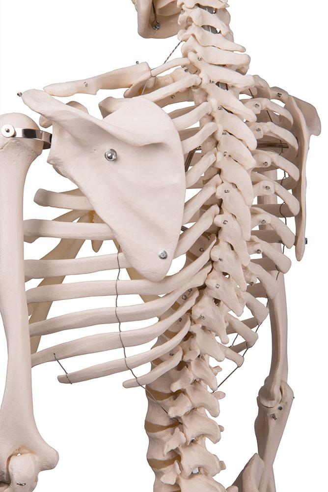 Skelett maxi