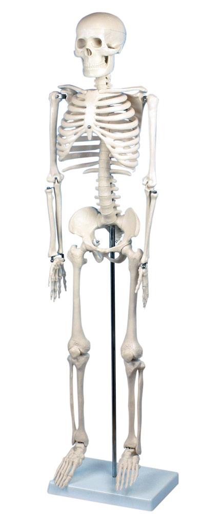 Skelett mindre