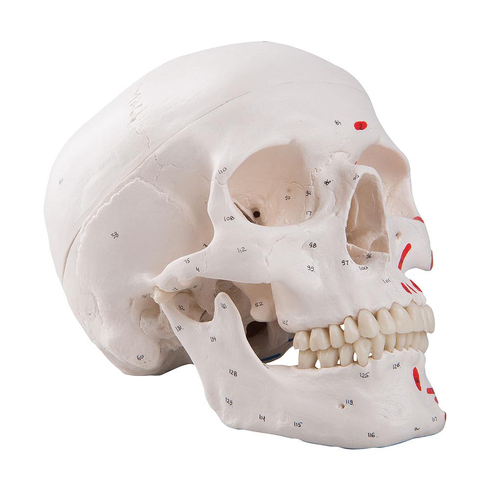 Kranium med muskelfästen