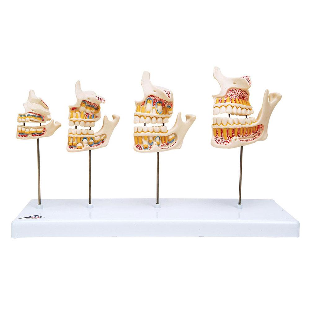 Tändernas utveckling