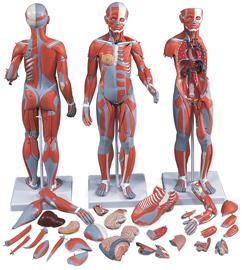 Muskelmodell FYND