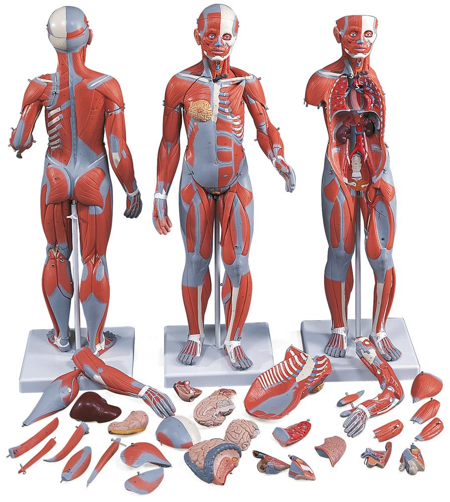 Muskelmodell