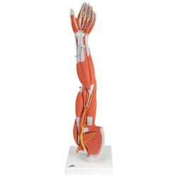 Arm med muskler