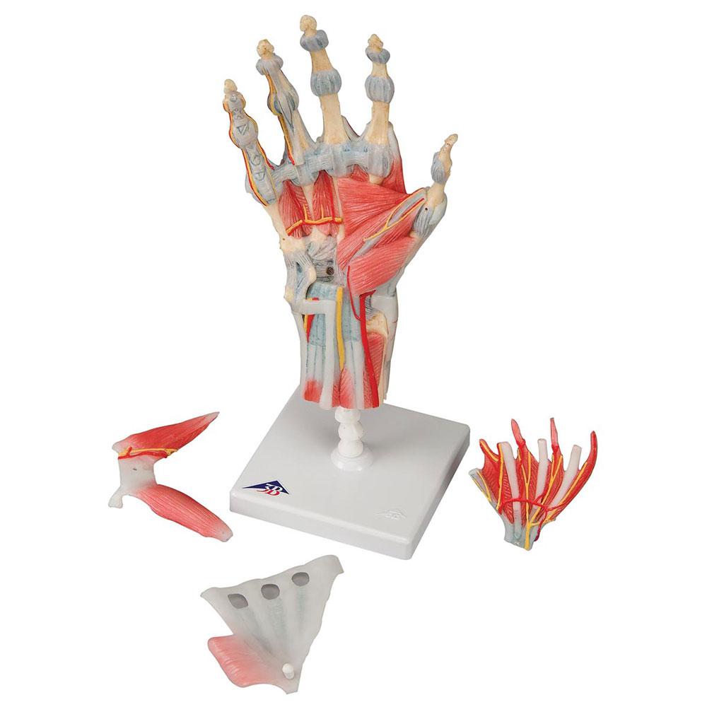 Hand med muskler och ligament