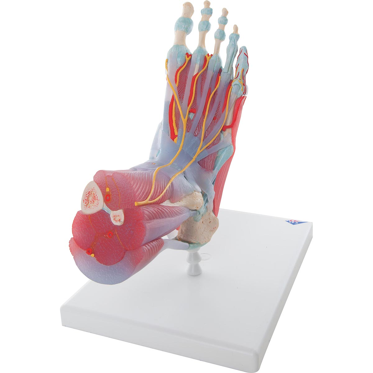 Fot med muskler och ligament
