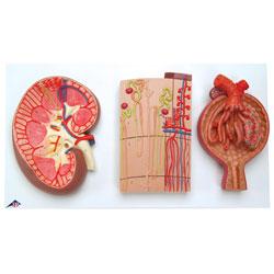 Njure, nefron och njurkapsel