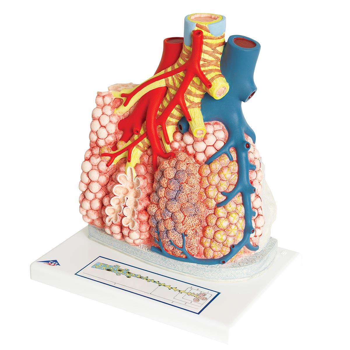 Lunglob med blodkärl