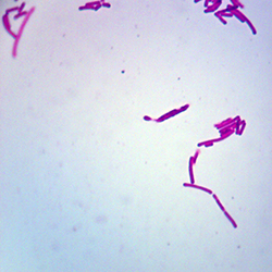 Mikroskopiskt preparat L. acidophilus