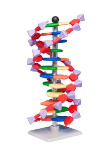 DNA-modellsats Elev