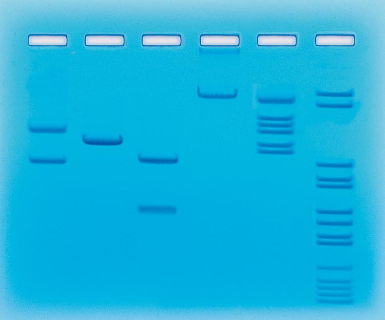 Restriktionsenzymers klyvning av DNA - Edvotek