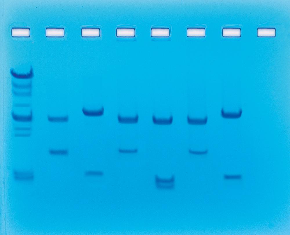 DNA fingerprinting II - Vem är den skyldige? - Edvotek