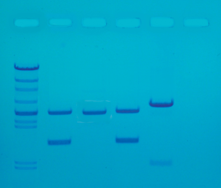 DNA fingerprinting PCR I - Edvotek