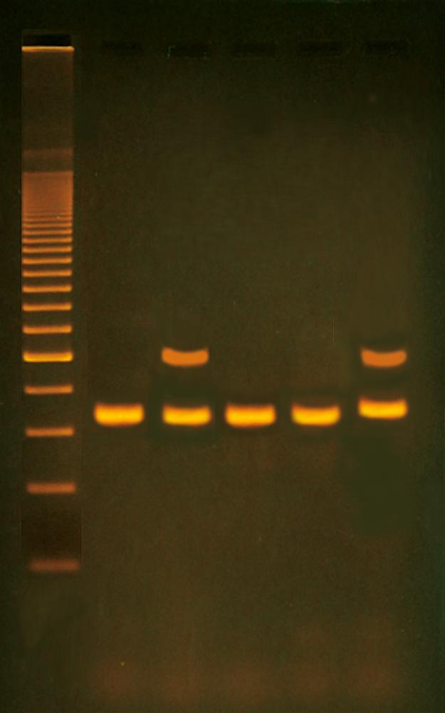 Alu-sekvens i mänskligt DNA - Edvotek