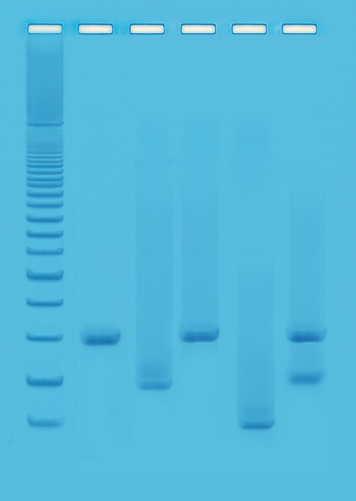 DNA fingerprinting med PCR II - Edvotek