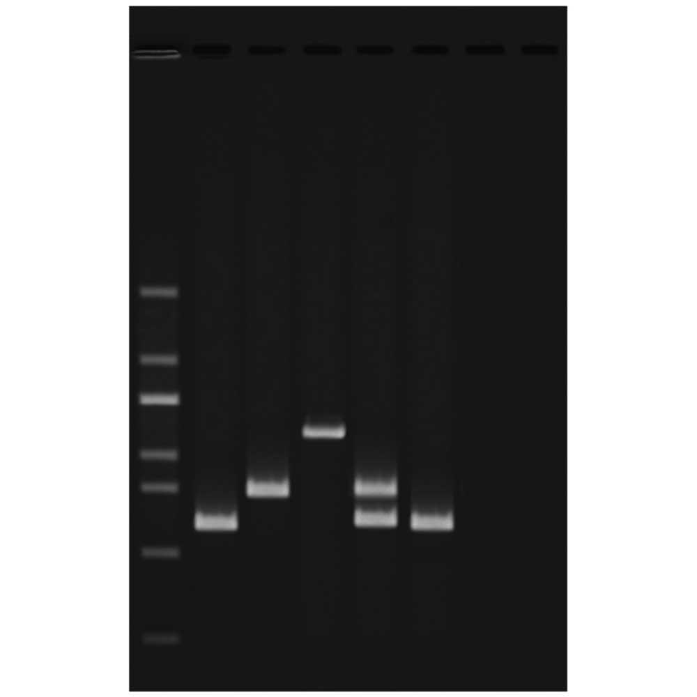 Test av vattenkvalitet med multiplex PCR - Edvotek