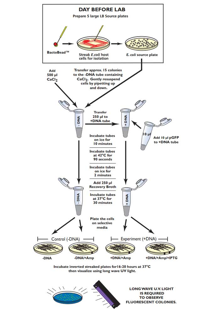 Transformation av E.coli m. fluorescerande protein - Edvotek