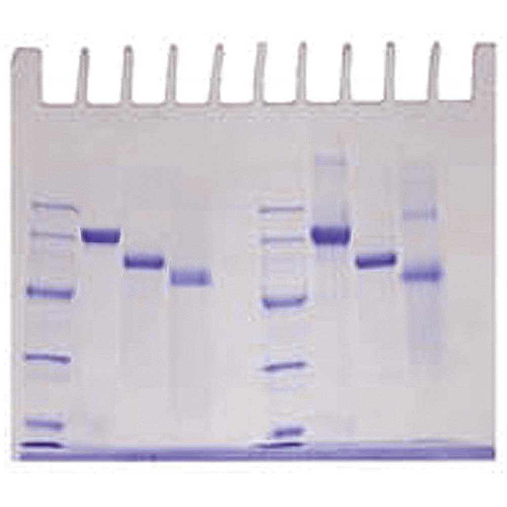 Bestämning av proteiners molekylvikt - Edvotek