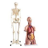 Anatomiska modeller